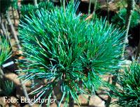 Pinus cembra 'Ried'