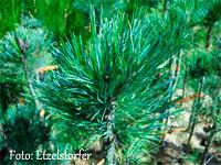 Pinus cembra 'Russian Summer'