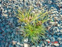 Pinus cembra 'Sabtny'