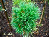Pinus cembra 'Schlegeis'