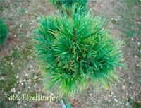 Pinus cembra 'Schneekonig'
