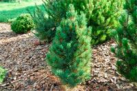 Pinus cembra 'Schwarzee'