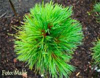 Pinus cembra 'Schweiz'