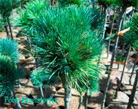 Pinus cembra 'Sommerwind'