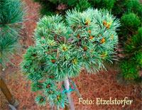 Pinus cembra 'St. Caterina'