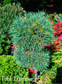Pinus cembra 'St. Christina'