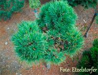 Pinus cembra 'St. Ulrich'