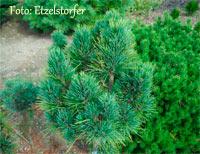 Pinus cembra 'Stanley'