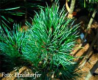 Pinus cembra 'Steiner'