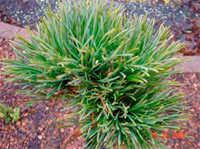 Pinus cembra 'Stoderzinken-B'