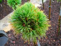 Pinus cembra 'Stoderzinken Nr1'