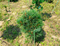 Pinus cembra 'Stoderzinken Nr11'