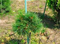 Pinus cembra 'Stoderzinken Nr2'