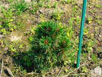 Pinus cembra 'Stoderzinken Nr4'