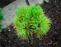 Pinus cembra 'Stoderzinken Nr5'
