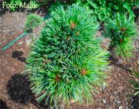 Pinus cembra 'Stoderzinken Nr6'