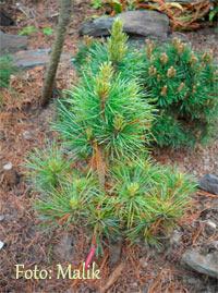 Pinus cembra 'Stoderzinken Nr7'