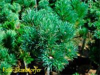 Pinus cembra 'Stoderzinken Nr8'