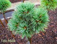 Pinus cembra 'Studlalm'