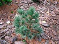 Pinus cembra 'Tamangur'