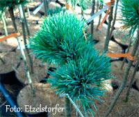Pinus cembra 'Tanneralm'
