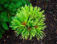 Pinus cembra 'Timmelsjoh'