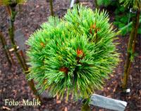 Pinus cembra 'Turrach Novy'