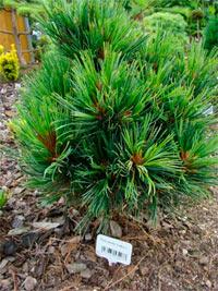 Pinus cembra 'Turrach Nr1'