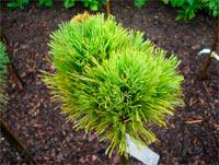 Pinus cembra 'Turrach Nr2'