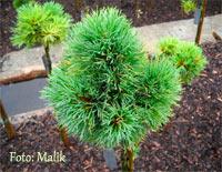 Pinus cembra 'Turrach Nr3'