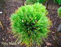Pinus cembra 'Turrach Nr4'
