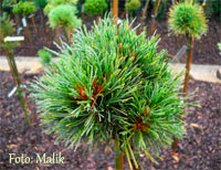 Pinus cembra 'Tuxer'