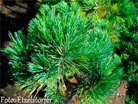 Pinus cembra 'Ultental'