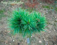 Pinus cembra 'Ultental Nr1'