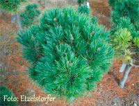 Pinus cembra 'Valgardena'
