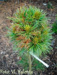 Pinus cembra 'Villa Rondo'