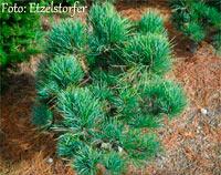 Pinus cembra 'Wildsee'