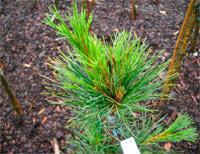 Pinus cembra 'Wircoh'
