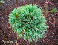 Pinus cembra 'Wolkenstein'