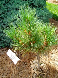 Pinus cembra 'Wycoff's Compact'