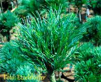 Pinus cembra 'Zauberflote'