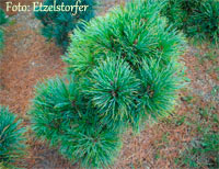 Pinus cembra 'Zillertal'