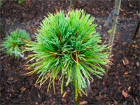 Pinus cembra 'Zirmstadl'