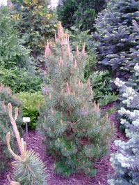 Pinus contorta 'Asher' (var. latifolia)