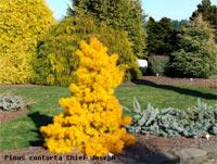 Pinus contorta 'Chief Joseph' (v. latifolia)