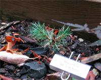 Pinus contorta 'Mt. Hood Marble'