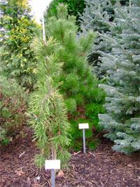 Pinus contorta 'Pendula'