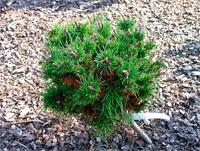 Pinus contorta 'Slavia'