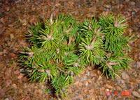 Pinus contorta 'Sonorra Pass'