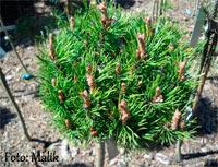 Pinus densiflora 'Edsal 'Wood'